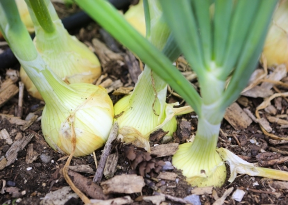 Close Up View Of Growing Onions